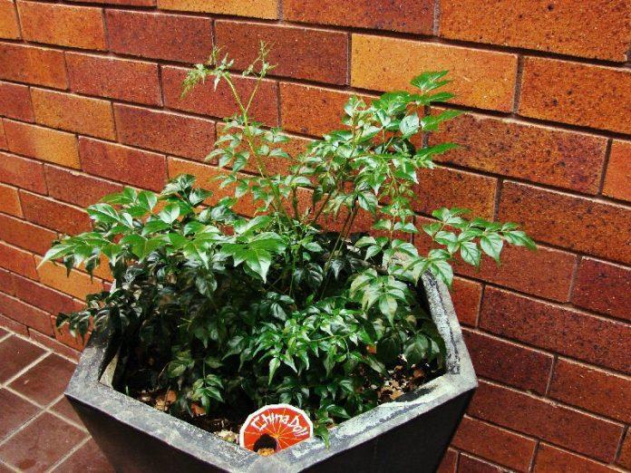china doll plant in eramic pot