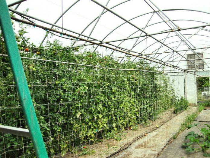 tomato trellis inside a hoop house