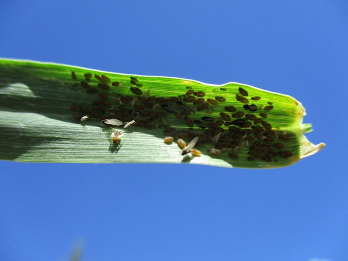 aphids pest bettle and insect in corn leaf