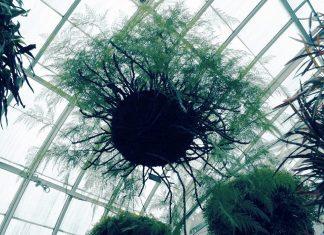 hanging plumosa fern