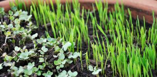 microgreen sprouts growing