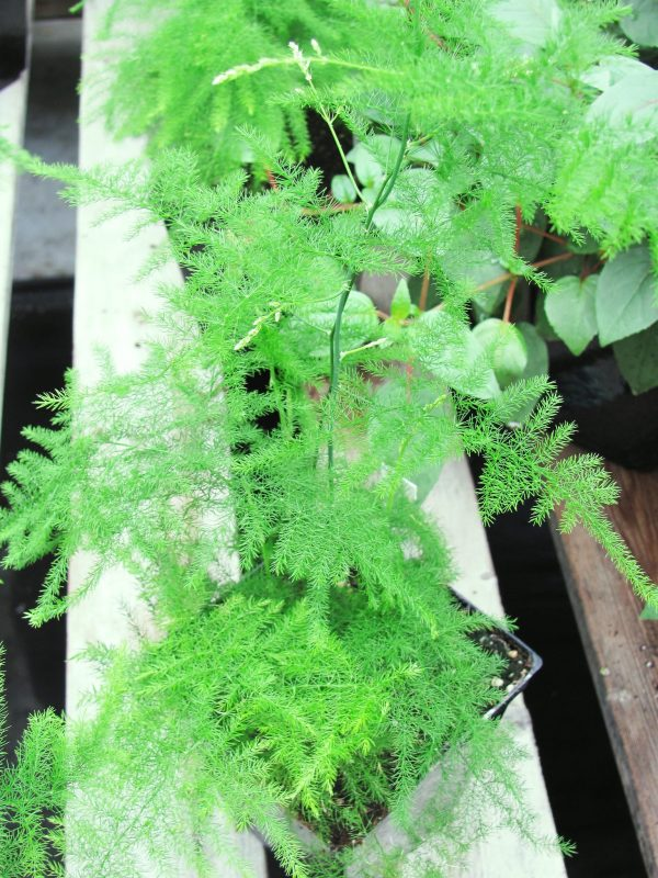 plumosa plant