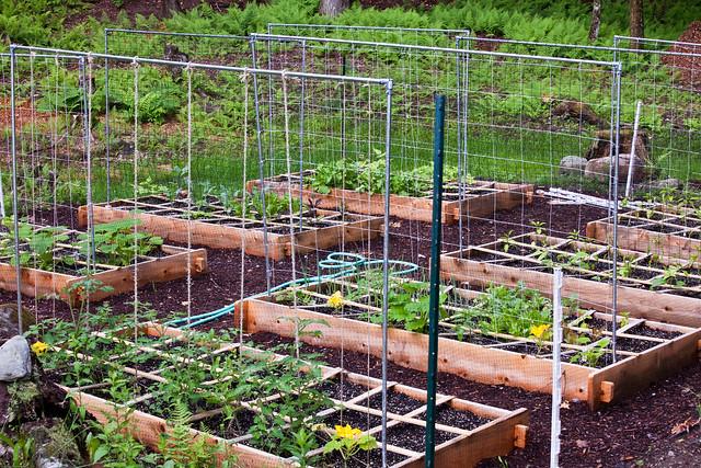 tomato trellis in garden