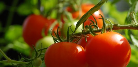 Tomatos, which are a first step towards vegetable gardening for many beginners