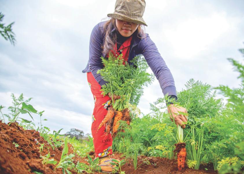 woman outside wearing a brown gardening hat picking orange carrots.